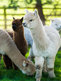 Introduction to Owning Alpacas Sat 17th June