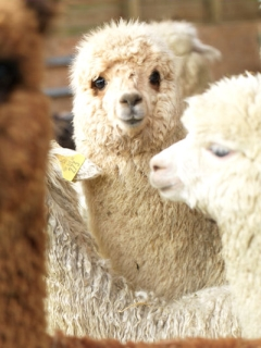 Introduction to Owning Alpacas Sat 23rd February