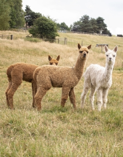 Introduction to Owning Alpacas Sunday 31st May