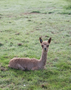 Introduction to Owning Alpacas Saturday 29th February