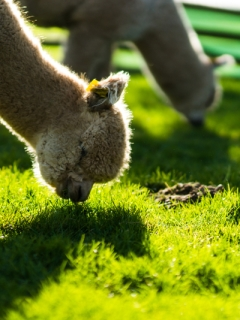 Introduction to Owning Alpacas Sat 25th May